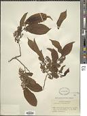 view Casearia corymbosa Kunth digital asset number 1