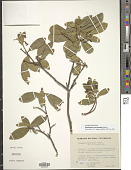 view Daphnopsis caracasana Meisn. digital asset number 1