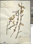 view Lepargyrea canadensis (L.) Greene digital asset number 1