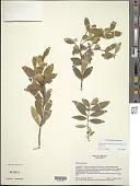 view Wikstroemia oahuensis (A. Gray) Rock var. oahuensis digital asset number 1