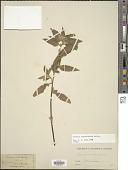view Turnera angustifolia Mill. digital asset number 1