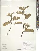 view Turnera benthamiana digital asset number 1
