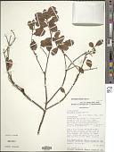 view Octolepis dioica Capuron digital asset number 1