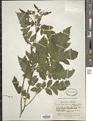 view Nasa triphylla subsp. papaverifolia (Kunth) Weigand digital asset number 1