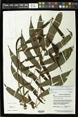 view Meniscium nesioticum (Maxon & C.V. Morton) Pic. Serm. digital asset number 1