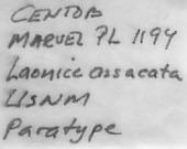 view Laonice asaccata Sigvaldadottir & Desbruyères, 2003 digital asset number 1