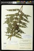 view Goniopteris biformata (Rosenst.) comb. nov., ined 2015 digital asset number 1