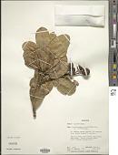 view Erythrospermum verticillatum Lam. ex Poir. digital asset number 1