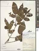 view Combretum coursianum (H. Perrier) Jongkind digital asset number 1