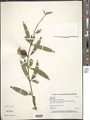 view Punica granatum L. digital asset number 1