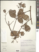 view Laguncularia racemosa (L.) C.F. Gaertn. digital asset number 1