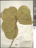 view Terminalia samoensis Rech. digital asset number 1