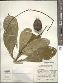 view Barringtonia samoensis A. Gray in Wilkes digital asset number 1