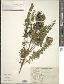 view Myrtus communis sensu Blanco non L. digital asset number 1