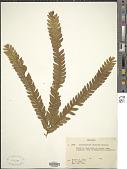 view Anisophyllea disticha (Jack) Baill. digital asset number 1