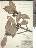 view Rhizophora harrisonii Leechm. digital asset number 1