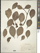 view Sonneratia griffithii Kurz digital asset number 1