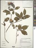 view Psidium friedrichsthalianum (O. Berg) Nied. digital asset number 1