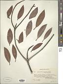 view Rhizophora apiculata Blume digital asset number 1