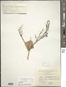 view Uromyrtus baumanii (Guillaumin) N. Snow & Guymer digital asset number 1