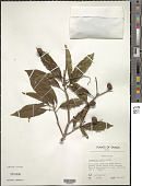 view Terminalia richii A. Gray in Wilkes digital asset number 1