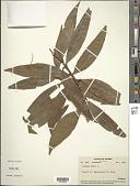 view Syzygium jambos (L.) Alston digital asset number 1