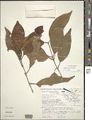 view Syzygium cumini (L.) Skeels digital asset number 1