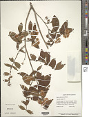 view Eugenia incanescens Benth. digital asset number 1