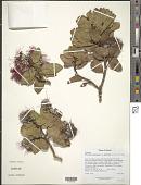 view Metrosideros polymorpha var. glaberrima (H. Lév.) H. St. John digital asset number 1
