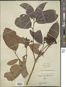 view Eugenia densiflora digital asset number 1