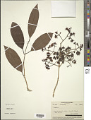 view Syzygium sp. digital asset number 1