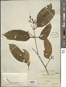 view Syzygium virens digital asset number 1