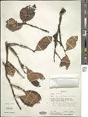 view Monimiastrum pyxidatum J.Guého & A.J. Scott digital asset number 1