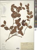 view Eugenia reinwardtiana (Blume) DC. digital asset number 1
