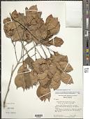 view Calyptranthes zuzygium (L.) Sw. digital asset number 1