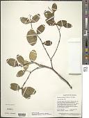 view Marlierea karuaiensis (Steyerm.) McVaugh digital asset number 1