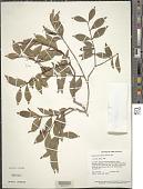 view Eugenia punicifolia (H.B.K.) DC. digital asset number 1