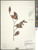 view Myrcia albidotomentosa (Amshoff) McVaugh digital asset number 1