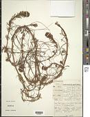 view Myriophyllum aquaticum (Vell.) Verdc. digital asset number 1