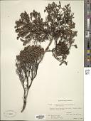 view Leptospermum recurvum Hook. f. digital asset number 1