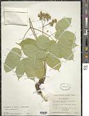 view Aralia nudicaulis L. digital asset number 1