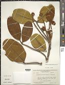 view Schefflera ulocephala Frodin digital asset number 1