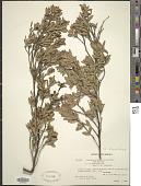 view Leptospermum javanicum digital asset number 1