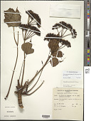 view Polyscias marchionensis (F. Br.) T.K. Lowery & G. M. Plunkett digital asset number 1