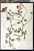 view Begonia formosissima Sandwith digital asset number 1