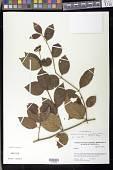 view Viburnum tinoides var. venezuelense L. f. digital asset number 1
