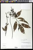 view Perrottetia quinduensis Kunth digital asset number 1