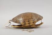 view Turtle-Shell Drum digital asset number 1