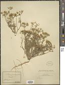 view Orlaya grandiflora (L.) Hoffm. digital asset number 1