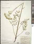 view Cnidium cnidiifolium (Turcz.) Schischk. digital asset number 1